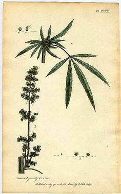 Cannabis Hemp Engraving By F.P. Nodder & Published By White & Son On May 1, 1788.