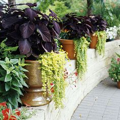 From BHG.com - To Unify the Landscape, Employ a strategy used indoors, where repetition of color unites the decor. Outdoors, use similar or identical containers throughout an area to pull it together. This is especially effective along a path or on a long wall such as this one, which houses three containers planted with purple-leaf coleus and creeping Jenny (Lysimachia 'Goldilocks').