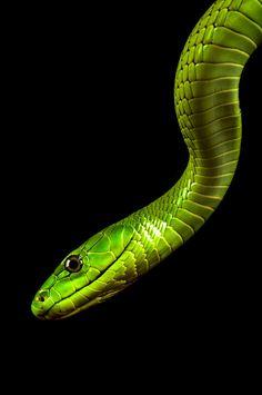 Green Mamba by Jeffrey van Ringelenstijn