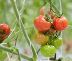 tomatoes in greenhouse tips and advice from the sunday gardener