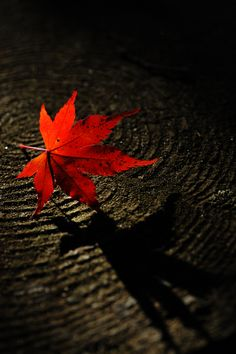 Red Japanese Maple Leaf  wabi sabi Love this little series of pictures :).....
