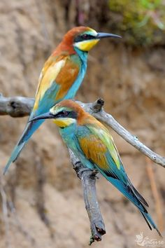 European Bee-eater (Merops apiaster). In Lithuania called - bitininkas. www.naturephoto.lt/fotografija/bitininkas_merops_apiaster_4 > http://en.wikipedia.org/wiki/European_Bee-eater