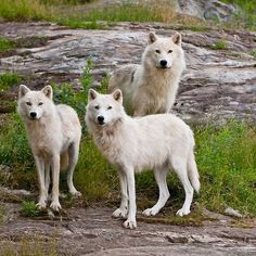 Arctic Wolves - SAVE THE WOLVES