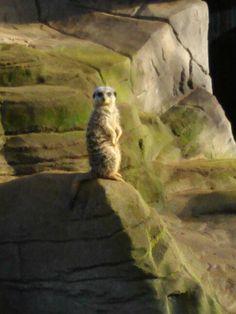 Meerkat!!!!!