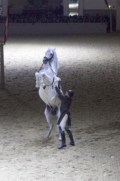 Spanish Riding School in Vienna Horse Dance, Horse Art, Most Beautiful Horses, Pretty Horses, Horse Spirit Animal, Alter Real, Lippizaner, Lipizzan, Spanish Riding School