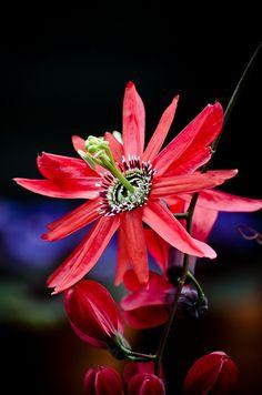 Red passion flower /  Passiflora racemosa
