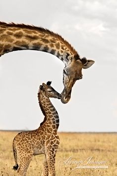 Use art like this in the Bagua area for family and children when you are trying to get pregnant. Giraffe's First Kiss - Fine Art Wildlife Photograph