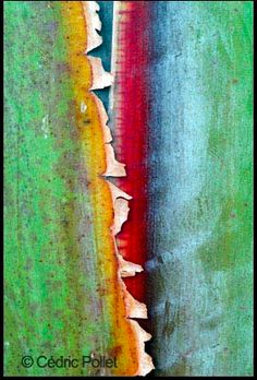 bark of the traveller's palm, Ravenela madagascariensis