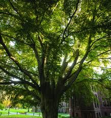 Image result for mount holyoke library tree