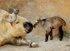 A takin mother and her calf