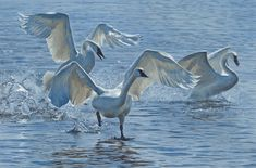 Wings on Water, by Terry Isaac