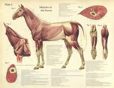 Horse anatomy for when I go to vet school