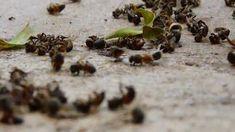 Glyphosate & Honeybees, interview with Don Huber 2014