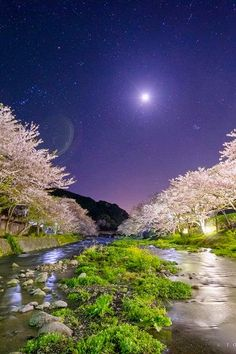 Moonlight and riverside cherry trees, Shizuoka, Japan