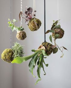 """Kokedamas: """"a free-form planting method that derives from bonsai[, i]t involves wrapping a plant's roots with soil & moss to create something that looks like a living sculpture.[..] designed to dangle; by suspending them in the air with colorful twine, you can create a hanging garden for inside your home or even outdoors in the warmer seasons. They can also sit on a shallow dish for display.[.. Plantings] work well in an environment that provides bright but indirect natural light."""""""