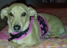 My sweet Dachshund - Jack Russell Terrier, Abby, in her Valentines harness.  :-)