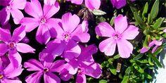 plamenka šídlolistá Herbs, Plants, Catalog, Herb, Flora, Plant, Planting