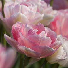 Tulip french blend rose bulbs as cut flowers bulbs for sale a photograph of the the spring flowering tulip bulbs cultivar angelique mightylinksfo