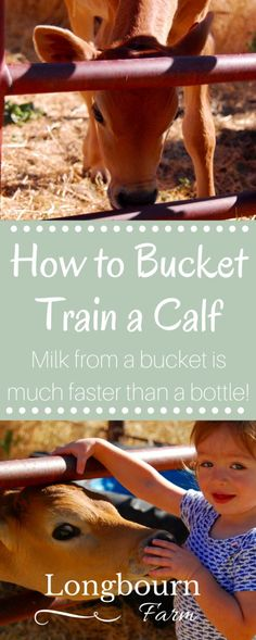 Learn how to bucket train a calf to make feeding time easier! It's easy and simple to do, just a few steps and your calf drinking from a bucket…