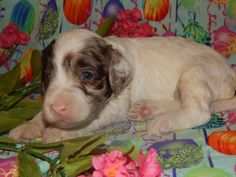 Meet Maggie! An Australian Labradoodle puppy.