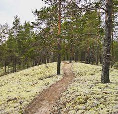 """Rokua Geopark, Finland. 21 tykkäystä, 1 kommenttia - Silver tern (@silvertern77) Instagramissa: """"The beautiful sand ridges of #rokua #naturephotography #hikingtrail #rokuageopark…"""""""