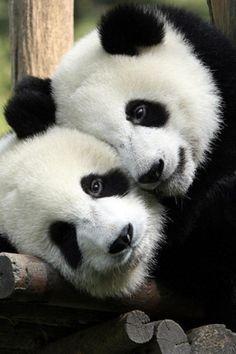 Panda, Cute, Fluffy, Animal
