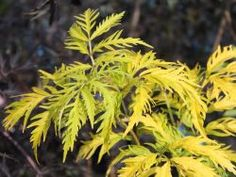 Farnblättriger Goldholunder 'Sutherland Gold' - Sambucus racemosa 'Sutherland Gold' - Baumschule Horstmann