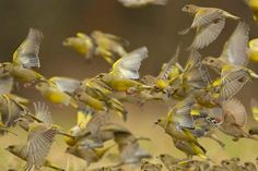 Greenfinch, Small Birds, Photo And Video, Study Help, Animal Humor, Medium, Colorful Birds, Goldfinch, Wolves Art