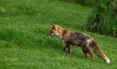 Renard roux - Red Fox - Il y a juste une heure le renard me visite dans mon jardin à 21H! Just an hour ago the Red Fox visits me in my garden at 9pm!