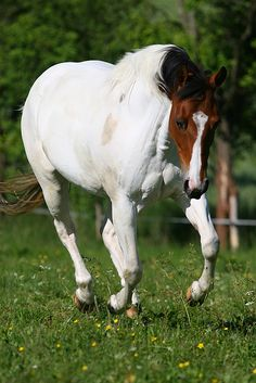 American Paint Horse by ~Speci1990 ~ American Paint Horse Mare Special Sister. She was bred by Duke Neff