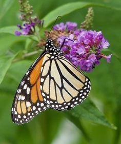 https://flic.kr/p/WwDSzw | Monarch Butterfly
