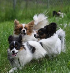 Your small breed dog could be at risk for joint problems, too. Your small breed dog could be at risk for joint problems, too. Your small breed dog could be at risk for joint problems, too. Small Dog Breeds, Small Breed, Small Dogs, Papillion Puppies, Animals And Pets, Cute Animals, Training Your Dog, Happy Dogs, Dog Art