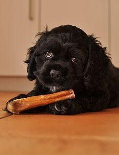 American Cocker Spaniel Pictures