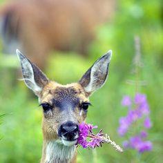 Sitka black-tailed deer - (CC)U.S. Fish and Wildlife Service / Steve Hillebrand - www.flickr.com/photos/usfwshq/6954233156/in/set-72157629869378585#