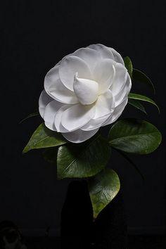 White Camellia...