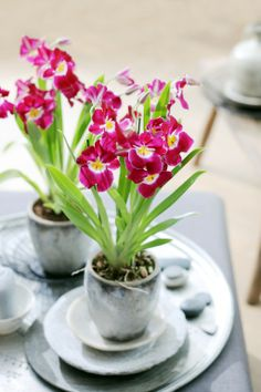 Inspiring photography of Orchids Water Culture Orchids, Miltonia Orchid, Growing Roses, Wonderful Flowers, Types Of Doors, Flower Pictures, Pansies, Indoor Plants, Planting Flowers