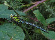 Southern Hawker | british-dragonflies.org.uk