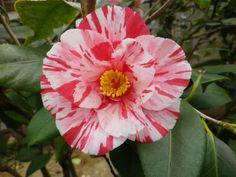 Camellia japonica 'Fukiage-shibori' (Japan, by 1844)