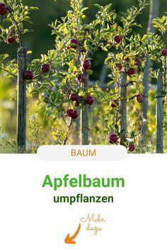 Zu eng? Zu schattig? Wenn Sie erst nach Jahren merken, dass Ihr neu gepflanzter Apfelbaum falsch steht, können Sie ihn mit diesen Tipps noch einmal umpflanzen. #baum #apfel #apfelbaum #umpflanzen #meinschoenergarten