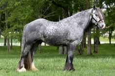 Gypsy Horse / Tinker - stallion Blue Steele
