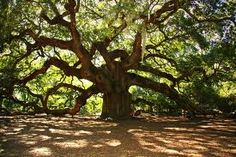 great big old trees that have lived for a long long time