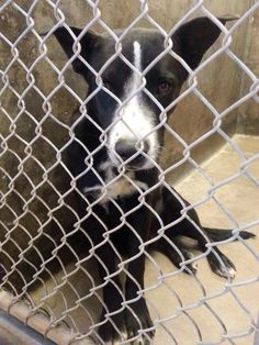URGENT!!!! WILL BE EUTHANIZED IF NOT OUT BEFORE NOON 2/21!!! PLEASE ***he is so sweet!!!!*** Border Collie mix male 1-2 years old Kennel A8  -- $51 to adopt Odessa, TX Animal Control https://www.facebook.com/speakingupforthosewhocant/photos/a.248402621850650.69312.248355401855372/733039700053604/?type=1&theater