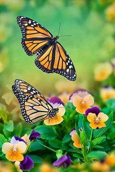 Butterflies-Wallpapers-Backgrounds