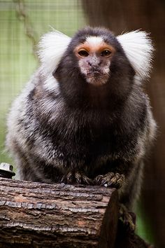 Common Marmoset monkey at Queensland Zoo Woombye.  Photo copyright Teale Shapcott