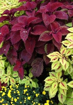 Coleus. This attractive foliage plant is great for containers and underplanting. Although coleus will usually survive in sun, the color of the leaves is enhanced in the shade. Small, insignificant flowers will appear late summer.