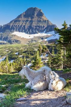 See more Mountain Goats seen from Hidden Lake Trail from Logan Pass, Glacier National Park, Montana; photo by .John and Jean Strother