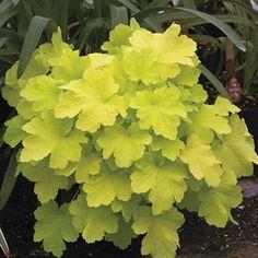 A sport of Heuchera 'Caramel', this sun-tolerant cultivar offers neon-bright chartreuse leaves!