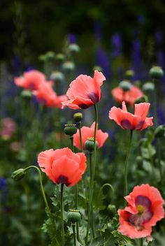 Pink dancing poppies Source by cristinatitia Summer Flowers, Blue Flowers, Wild Flowers, Beautiful Nature Pictures, Beautiful Flowers, Blue Garden, Floral Photography, Red Poppies, Watercolor Flowers