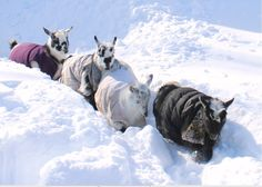 Goats In Coats In Snow. 'no pushing..single file ladies.. single file'