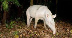 tapir albino